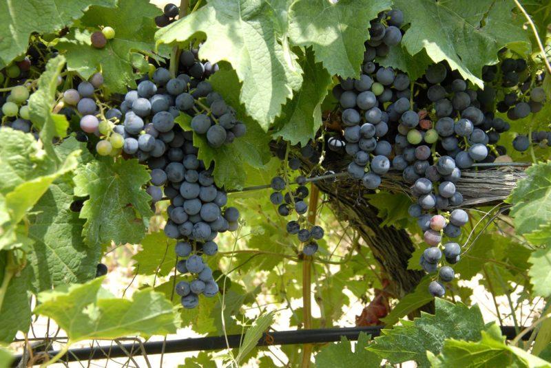 uvamonsatrell hectáreas de viñedos