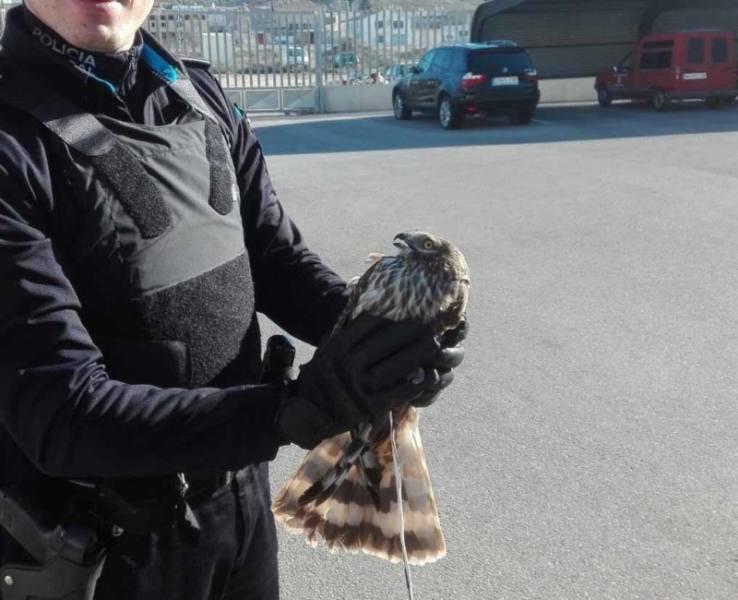 águila cenizo herido