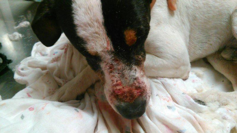 spandy protectora perros heridos