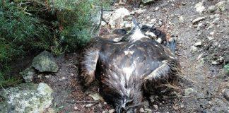 águila real aves protegidas