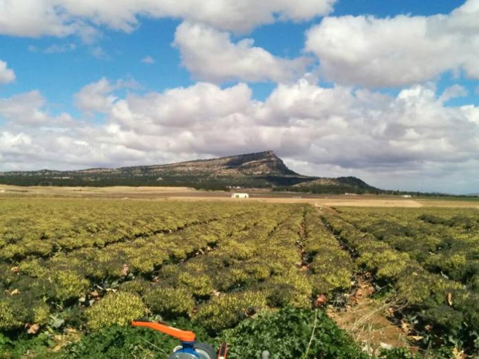 Brócoli cultivo intensivo