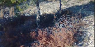 hojas de pinos tirados