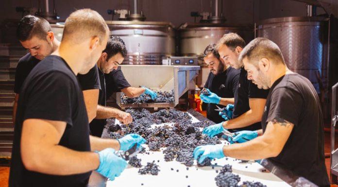 selección de la uva vendimia uvas
