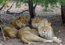 Tres leones rescatados conviven en AAP Primadomus