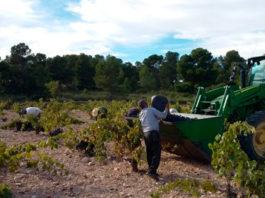 recogida de la uva bolsa de empleo cuota de la cosecha