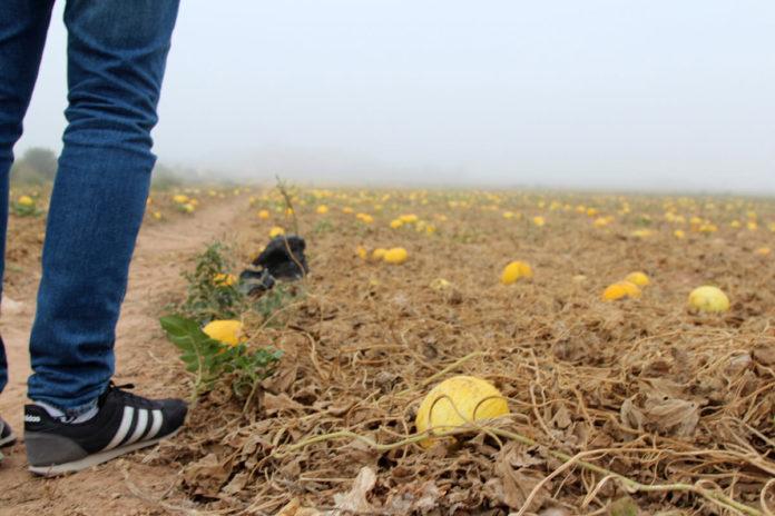 los melones en la finca de la umbría del factor