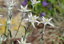 la planta edelweiss