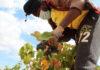 vendimia vinos de yecla economía circular