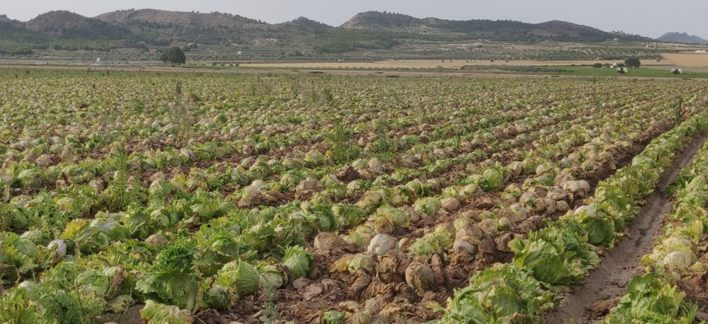 Fotografías: abandono de millones de lechugas en el paraje del Boalage (Yecla), durante los meses de junio y julio. Se puede observar claramente el proceso de degradación del cultivo por no haber sido recogido: las fotografías están fechadas entre el 4 de junio y el 15 de julio.